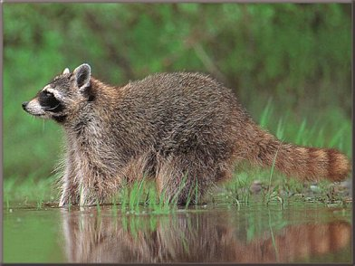Raccoon1A
