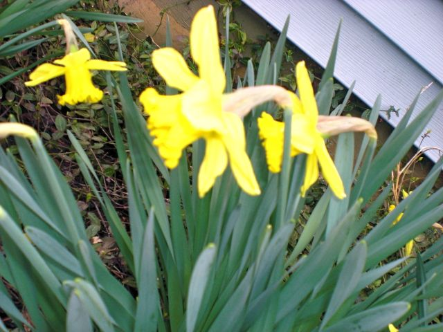 Door step daffodils