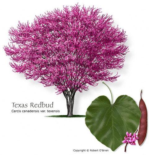 Texas redbud tree