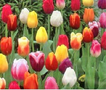 Muti-hued-tulips.jpg.pagespeed.ce.RavJQWVFBN