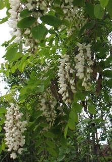 Black locust flower