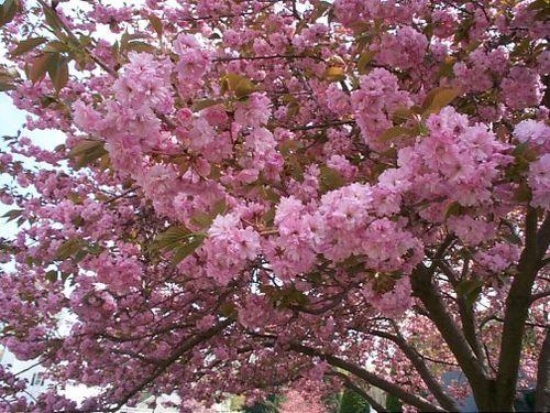 Kwanza_cherry_tree