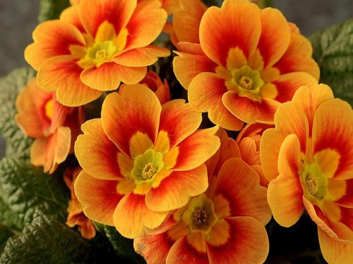 Orange-flowers-colors-27178561-1024-768