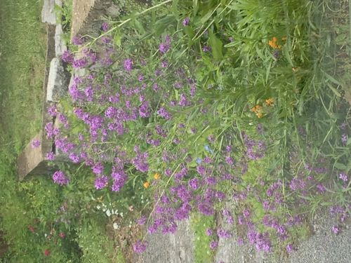 Purple fls