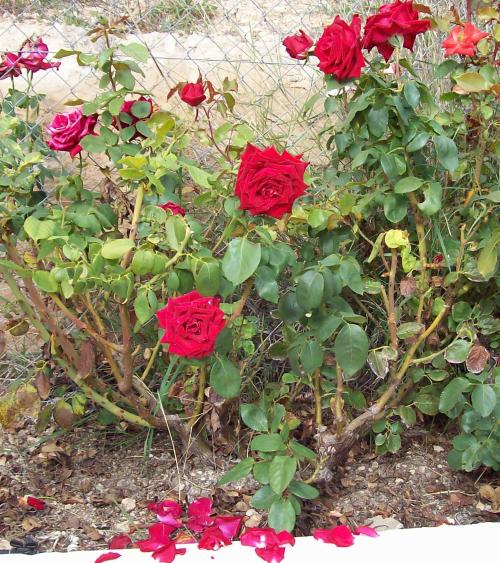 1-rose-petals