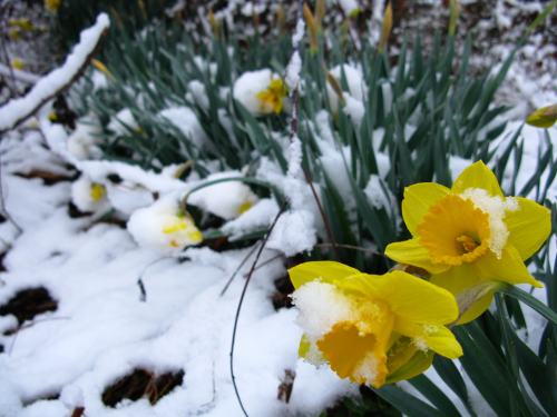 Spring-snow-daffodil-flowers1_-_West_Virginia_-_ForestWander