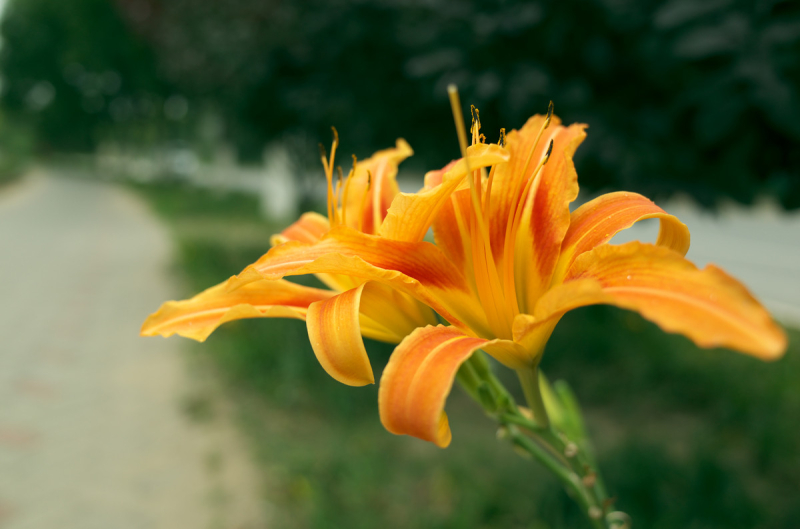 Hemerocallis_fulva_-_flower_view_02