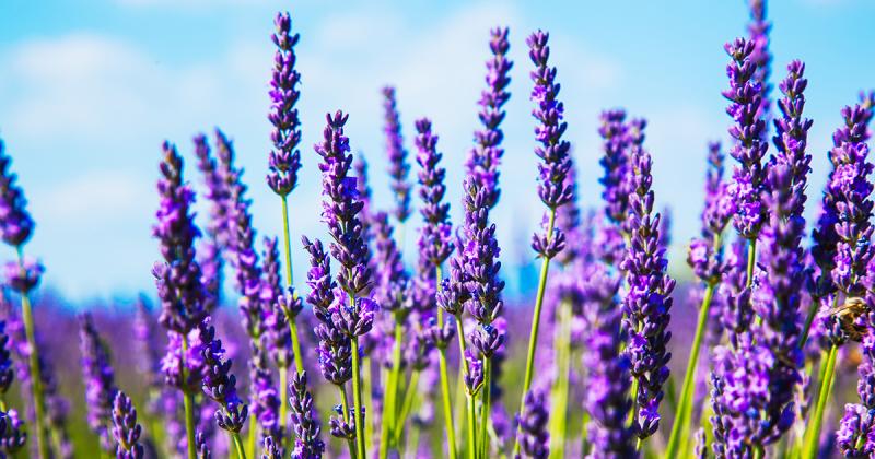Lavender_facebook