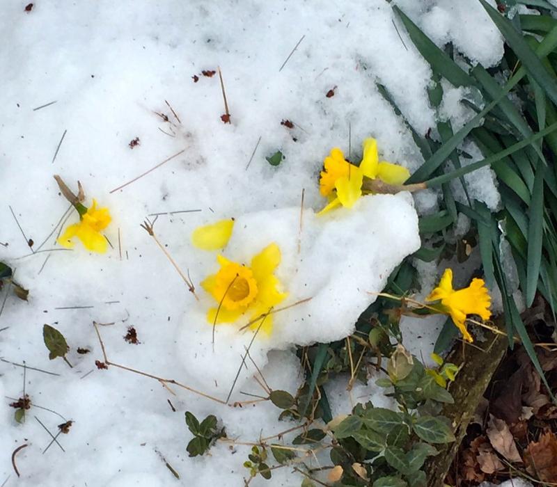 Frozen daffs