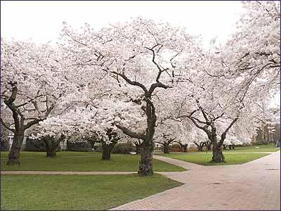 Cherrytree6