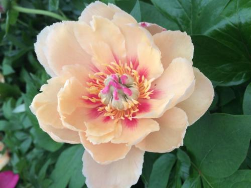 Peony-garden-treasure_a