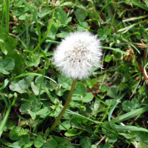 Dandelion-weed