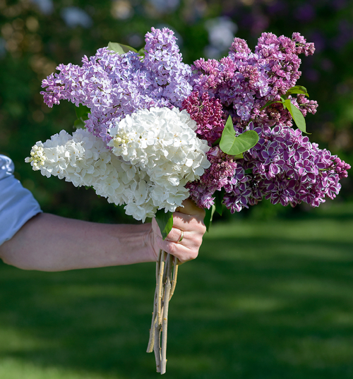 Variety-of-lilac-flowers-and-trees