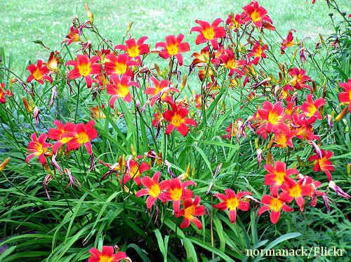 Xdaylily-plants.jpg.pagespeed.ic.uZtsqvQEaP