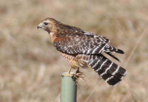 Red_shouldered_hawk_md03