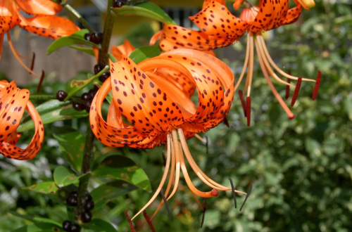 Tiger-lily-bloom-bulbils-big-56a589203df78cf77288b3c7