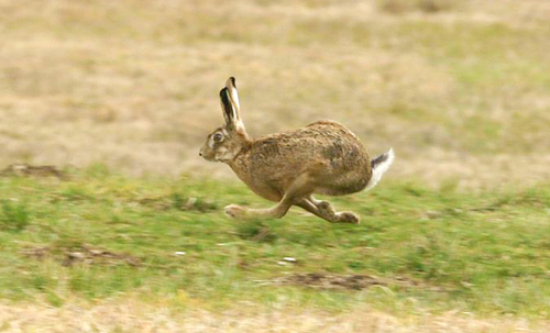 Wild-scottish-hare-recipes-and-uses
