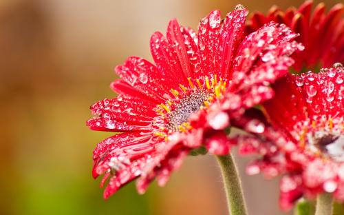Red-gerbera-flowers-after-rain-1080P-wallpaper