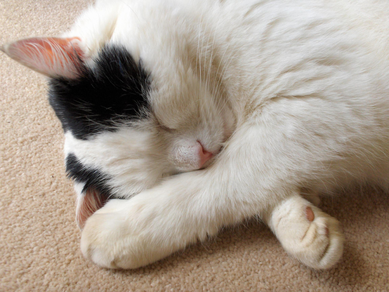 Lazy-Cat-being-lazy-853714_1024_768