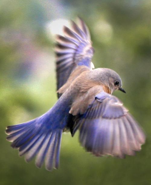Flying-bluebird-jean-noren