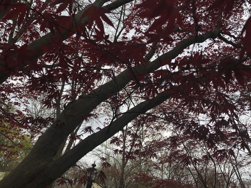 Redleaf spring