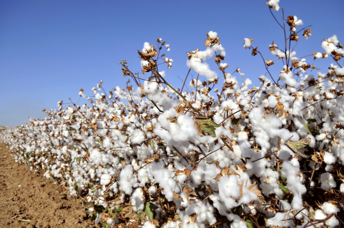 Cotton-production-and-the-story-of-cotton